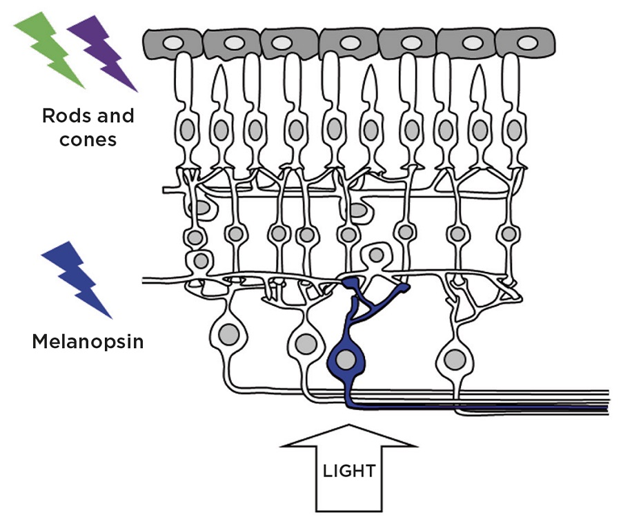 Figure 1. Retinal photoreceptors: in addition to the rod and cone photoreceptors which mediate vision, a subset of photosensitive retinal ganglion cells (pRGCs) express the photopigment melanopsin and are critically important in the regulation of a wide range of non-imageforming responses to light. Credit: S.Peirson