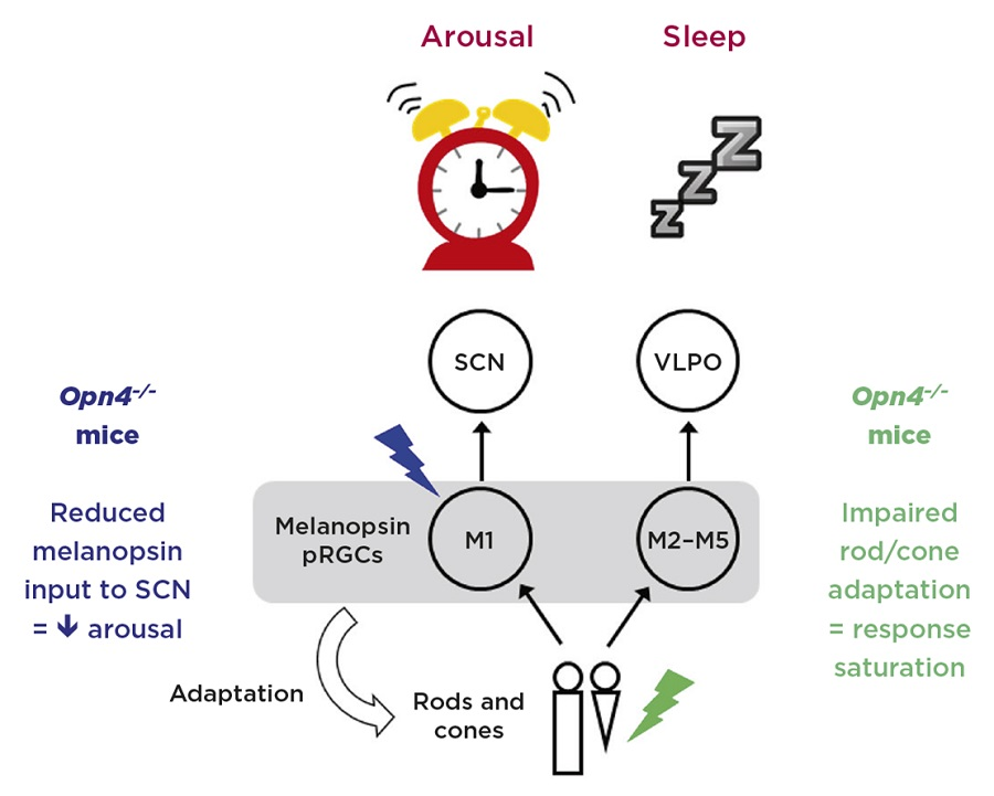 Figure 2. Model illustrating the opposing eff ects of light on sleep and arousal. M1 photosensitive retinal ganglion cells (pRGCs) express high levels of melanopsin and respond maximally to blue light. These cells project directly to the suprachiasmatic nucleus (SCN) and promote arousal via SCN inputs to the sympathetic nervous system. By contrast, M2–M5 cells are more dependent upon rod and cone input, and are thus more sensitive to green light. These cells project to the sleep switch in the ventrolateral preoptic area (VLPO). Mice lacking melanopsin (Opn4–/–) show impaired arousal responses to blue light. Furthermore, as melanopsin contributes to light adaptation of rods and cones, mice lacking melanopsin also show impaired responses to green light due to response saturation. Credit: S.Peirson