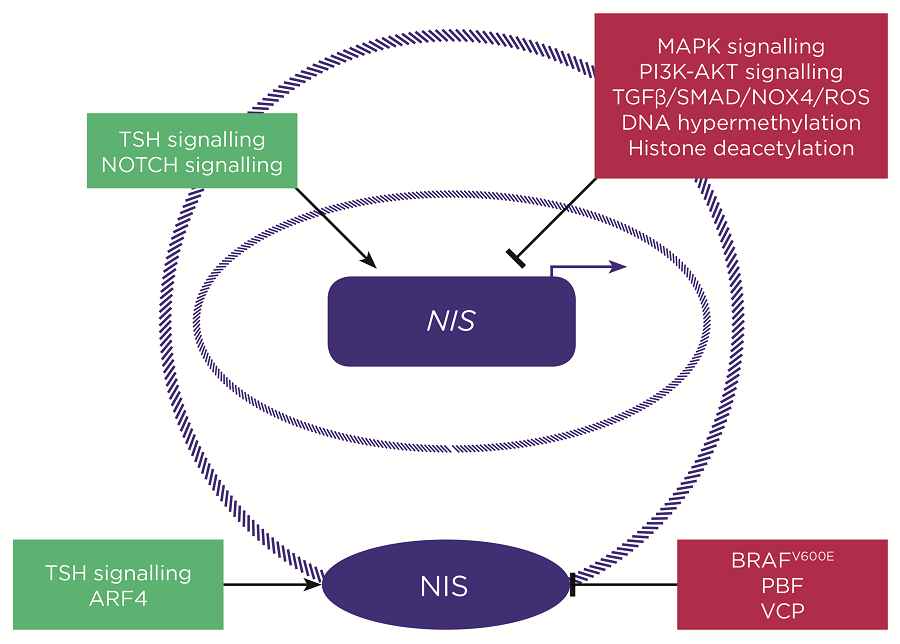 Simplified schematic highlighting some of the key known regulators of NIS gene expression (above) and NIS plasma membrane localisation (below). Green boxes = inducers of NIS expression/function; red boxes = inhibitors of NIS expression/function. ©V. Smith