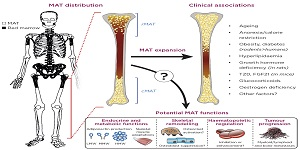 Why are our bones full of fat? The secrets of bone marrow adipose tissue
