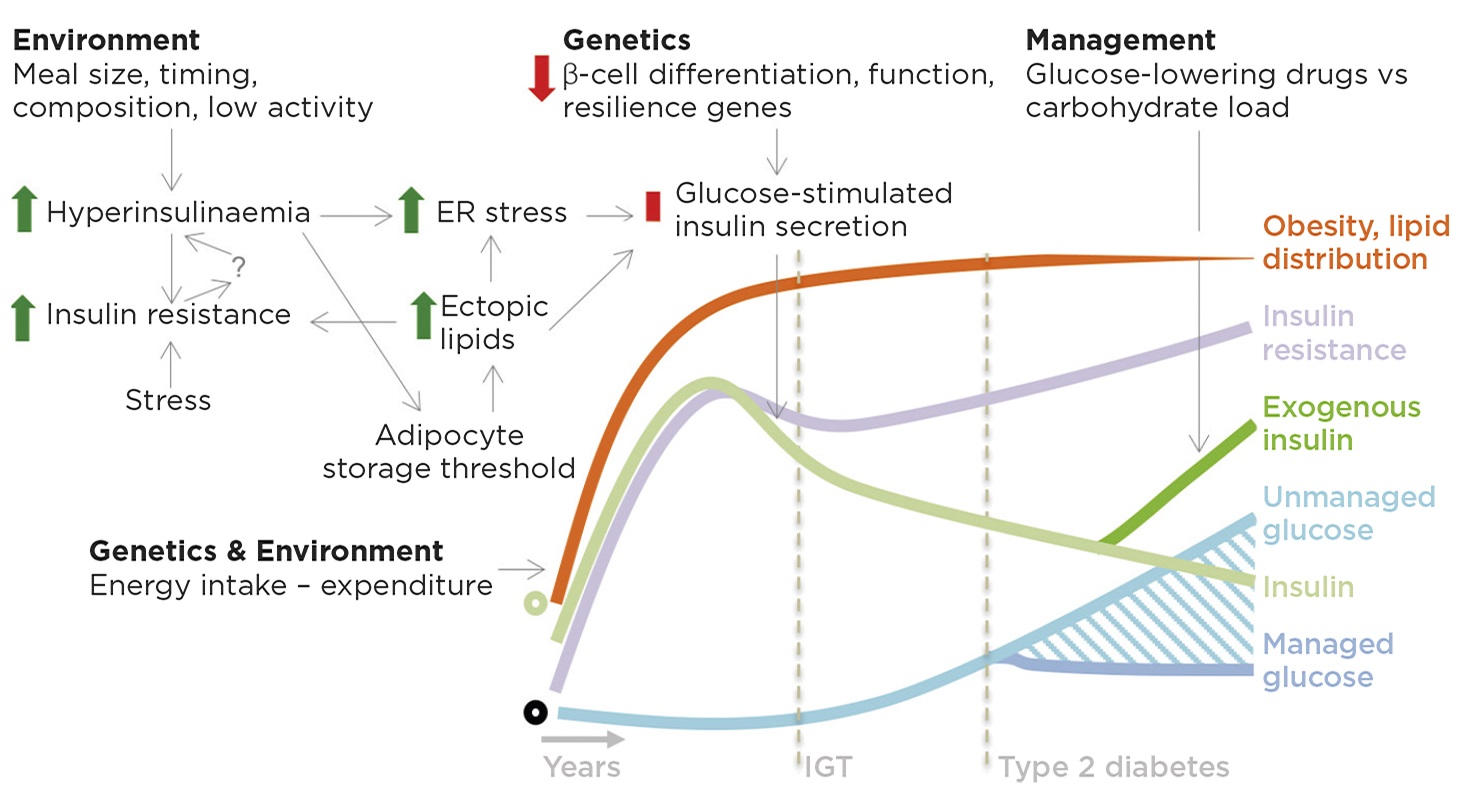Figure 1. Roles for insulin in insulin resistance, obesity and type 2 diabetes. On a background of genetic and environmental factors that increase food intake, we propose that meal size, timing and macronutrient composition stimulate excess insulin production/secretion in fasting and fed states. Hyperinsulinaemia may contribute to insulin resistance through receptor and post-receptor desensitisation, possibly further promoting hyperinsulinaemia via unknown mechanisms. Hyperinsulinaemia drives lipid storage in adipocytes, which eventually leads to adipocyte dysfunction and lipid spillover into other tissues. Ectopic lipids are deposited in many tissues including the pancreas where, together with the increased insulin demand, they produce endoplasmic reticulum (ER) stress and metabolic dysfunction, resulting in impaired glucose-stimulated insulin secretion. Impaired insulin secretion in response to glucose begets impaired glucose tolerance (IGT) and eventually type 2 diabetes. The late stages of type 2 diabetes are associated with more severe changes in β-cell differentiation state and cell death. Type 2 diabetes management is a balance between glucose-lowering drugs, including insulin, and glucose load, which can be modified by diet. Green circle denotes normal insulin; black circle represents the norm for other features. © J D Johnson & J A Kushner